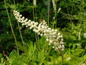 buying black cohosh